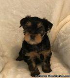 zxxsxsccs Advantageous Teacup Yorkshire Terrier Puppies Ready for sale
