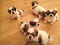 Shih Tzu puppies need a new home asap