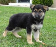 Magnificent German Shepherd Puppies Available
