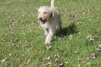 Labradoodle PUPPY FOR SALE ADN-53763 - Family raised F1 labradoodle puppies