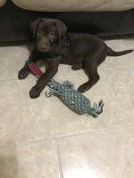 Labrador Retriever PUPPY FOR SALE ADN-55604 - AKC Chocolate Lab Male Puppy