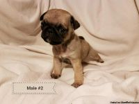 Christmas pug puppies!!! Only 1 left!!