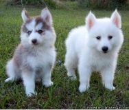 Adorable Pomsky Puppies for Re