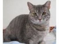 Adopt Elizabeth a Dilute Calico, Domestic Short Hair