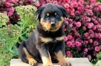 ASTONISHING M/F Rottweiler PUPPIES Available For Sale.