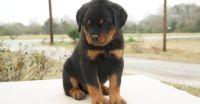 Sweet Adorable AKC German Rottweiler Puppies