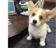 fwerfweds Pembroke Welsh Corgi puppies for sale