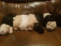 Goldendoodle PUPPY FOR SALE ADN-50332 - EXCELLENT QUALITY GOLDENDOODLE PUPPIES