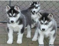ASTONISHING M/F SIBERIAN HUSKY PUPPIES Available For Sale..
