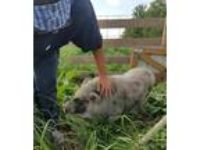 Adopt Snortemer a Pig (Farm) farm-type animal in Plainfield, IN (18944546)