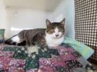Adopt June a Domestic Shorthair / Mixed (short coat) cat in Rockport