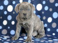 Cane Corso PUPPY FOR SALE ADN-64355 - Cane Corso Puppy for Sale