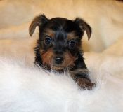 Yorkshire Terrier PUPPY FOR SALE ADN-54575 - Yorkie Puppies