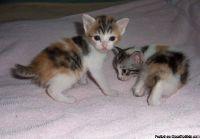 .~ s/^Lovely Japanese Bobtail Cat Breed Kittens.