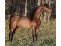 KA Odysseus Call Now for Breeding Specials