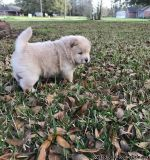 Chow Chow Dogs and Puppies for sale Text:(540)x268x0083