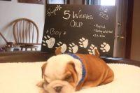 English Bulldog PUPPY FOR SALE ADN-63161 - AvailaBULL  Standard English Bulldog