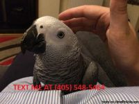 Pair African grey parrots for Sale