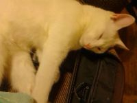 free nuetered male solid white cat 9 months old (bellmead)