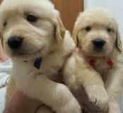 ggevveb Male and female Golden Retriever Puppies