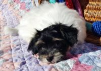 Havanese PUPPY FOR SALE ADN-51996 - Purebred Havanese Puppies Raised with Love
