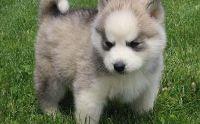 dtjnfymkg Siberian Husky Puppies for sale