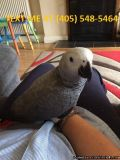 QUALITY African grey parrots for Sale