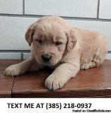 RIRI%100 Golden retriever puppies for sale