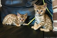 Lovely Bengal Kittens For Good Homes