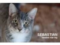 Adopt Sebastian a Domestic Short Hair