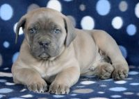 Cane Corso PUPPY FOR SALE ADN-64358 - Cane Corso Puppy for Sale