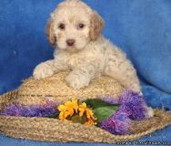GHJDTR COCKAPOO PUPPIES AVAILABLE FOR SALE Text: (4O4) 692 XX 3714