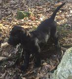 Labrador Retriever PUPPY FOR SALE ADN-62292 - BLACK AKC BRITISH LABRADORS