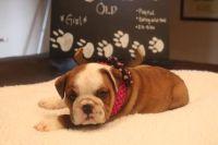 English Bulldog PUPPY FOR SALE ADN-63160 - AvailaBULL  Standard English Bulldog