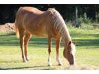 Adopt Faith a Palomino Quarterhorse / Palomino horse in Cantonment