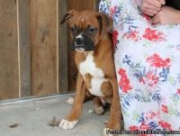 100% European flashy fawn male Boxer Puppies