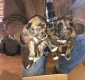 Azores Cattle Dog PUPPY FOR SALE ADN-58805 - Azores Cattle Dogs