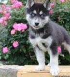 tgfhjgnfg Siberian Husky Puppies Ready for sale