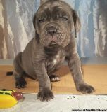 DFYUJEYU NEOPOLITAN PUPPIES AVAILABLE FOR SALE Text: (4O4) 692 XX 3714