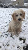 Labradoodle PUPPY FOR SALE ADN-55756 - Mini Labradoodle puppy