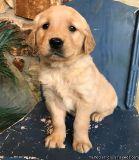 GDXGRD Giant Golden Retriever Puppies