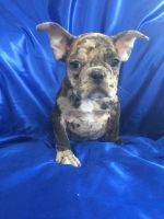French Bulldog PUPPY FOR SALE ADN-63708 - Amazing beautiful French bulldog puppies