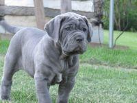 Neapolitan Mastiff PUPPY FOR SALE ADN-53441 - Neo puppies