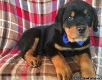 12 weeks old Rottweiler Puppies for Adoption
