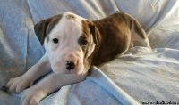 Male and Female Baby AMERICAN BULLY Puppies.