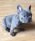 Adorable French Bulldog puppy for sale male and female