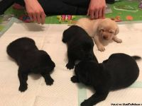 Labrador Retriever Puppies for good homes only
