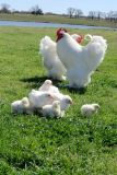 Chickens For Sale - 20 Varieties of Brown or Tinted Egg Laying Pullets (young hens)