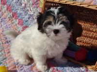 Havanese PUPPY FOR SALE ADN-51994 - Purebred Havanese Puppies Raised with Love