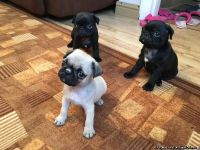 Tidy Pug puppies for sale now Text or Call (612) x 502 x 7552